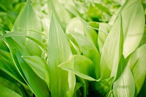 Garlic Leaves, Bear's Garlic, Allium Ursinum