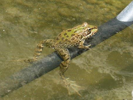 Frog, Raft, Irrigation, Batrachian, Croak, Float
