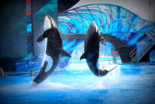 Sea World, Killer Whales, Jump, Aquarium, Show