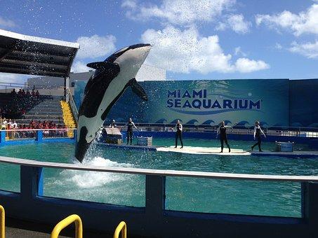 Miami, Killer Whale, Water, Jump
