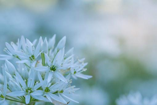 Bear's Garlic, Blossom, Bloom, Macro, White, Plant