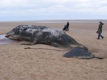 Sperm Whale, Beached, Dead, Ocean, Animal, Mammal