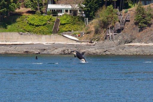 Orca, Whales, Animal, Killer, Mammal, Marine