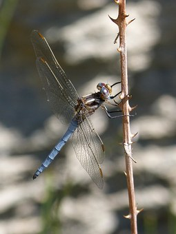 Dragonfly, Blue Dragonfly, Winged Insect, Raft