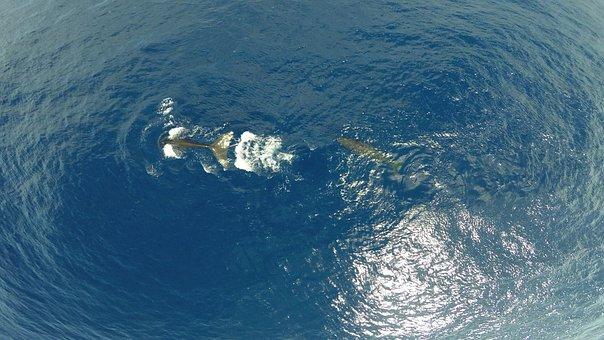 Sperm Whale, Diving, Cetacean, Sea, Blue