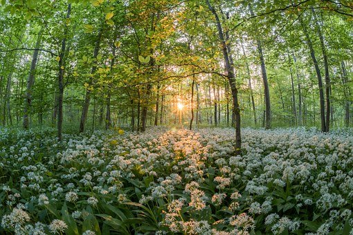 Forest, Bear's Garlic, Sunset, Sun, Plants Sea