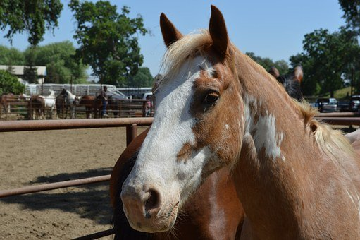 Talahi, Ruff Stock, Horse, Rodeo Stock, Face, Animal