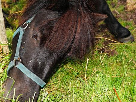 Horse, Friese, Foal, Mane, Eat, Under Power Wire, Fur