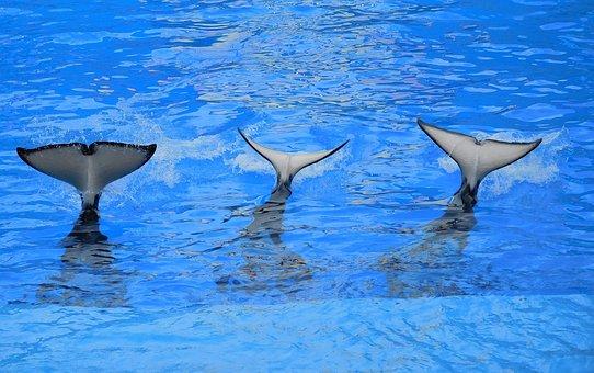 Orcas, Tails Of Orcas, Killer Whale, Splash, Whale