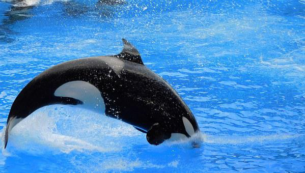 Orca, Killer Whale, Show, Orca Jump, Splash, Wild