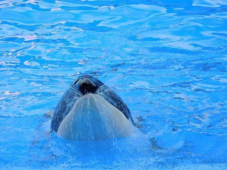 Orca, Killer Whale, Animal, Wild, Show, Whale
