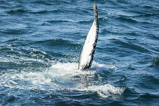 Whale, Iceland, Nature, Marine, Wildlife, Icelandic