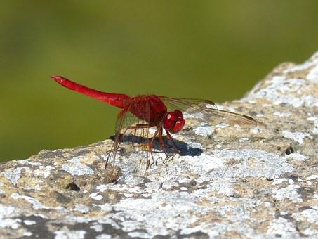 Red Dragonfly, Raft, Dragonfly, Winged Insect