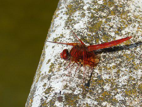 Red Dragonfly, Dragonfly, Raft, Winged Insect