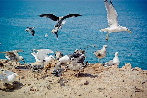 Seagull, Yellow-legged Gull, Bird, Young Animal, Adult