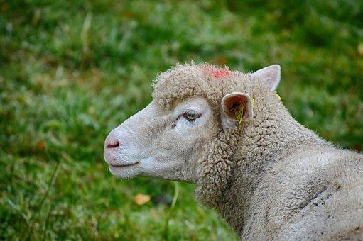 Sheep, Pasture, Wool, Nature, Animal, Meadow, Grass