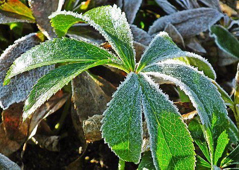 Leaf, Plant, Frost, Autumn, Nature, Closeup, Garden
