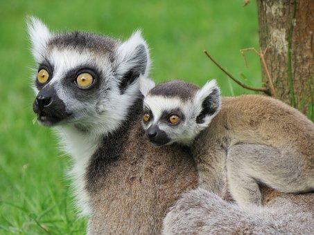 Lemur, Mother, Ring Tailed Lemur, Baby, Animal World