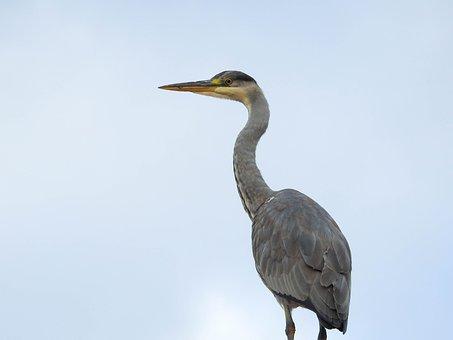 Bird, Heron, Nature, Animal World, Sky