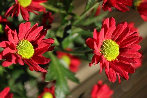 Daisy, Flower, Blossom, Nature, Plant, Summer