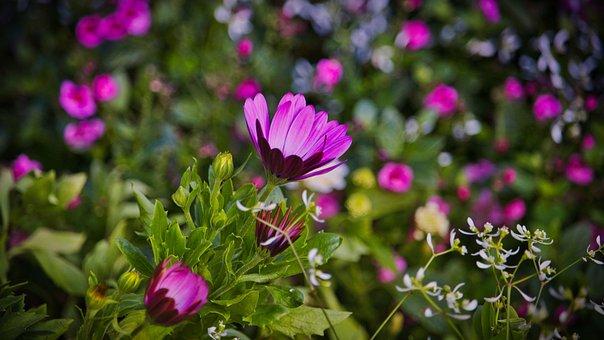 Bornholm Magerite, Flower, Bright, Beautiful, Bloom