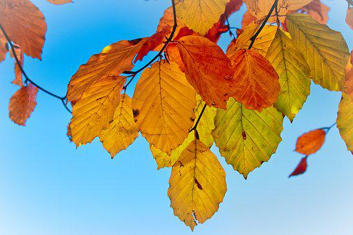 Leaves, Beech, Autumn, Mood, Fall Color, Bright
