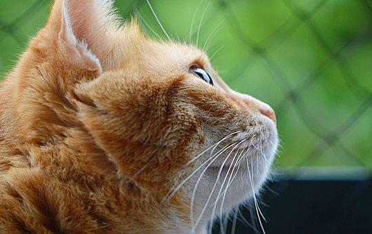 Cat, Mackerel, Red, Domestic Cat, Pet, Animal