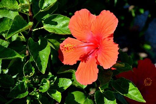 Vibrant, Color, Hibiscus Flower, Floral, Colorful