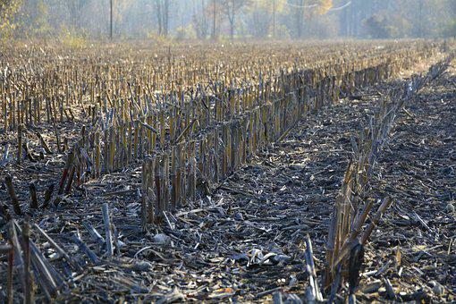Cornfield, Autumn, Stubble, Harvested, Agriculture
