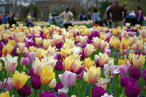 A Profusion Of Tulips, Tulips, Dallas, Texas, Botanical