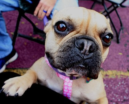 Dog, Frenchie, French, French Bull Dog, Breed, Pet
