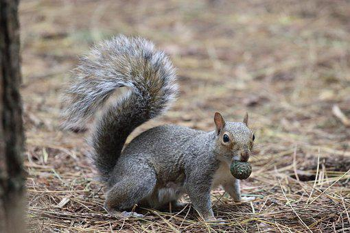 Grey Squirrel, Eating, Pine Nut, Nut In Mouth