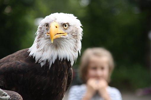 Raptor, Bald Eagle, Wild Animal, Bird Of Prey, Falkner