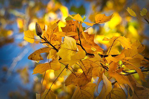 Autumn Leaves, Sycamore, Mood, Fall Color, Bright