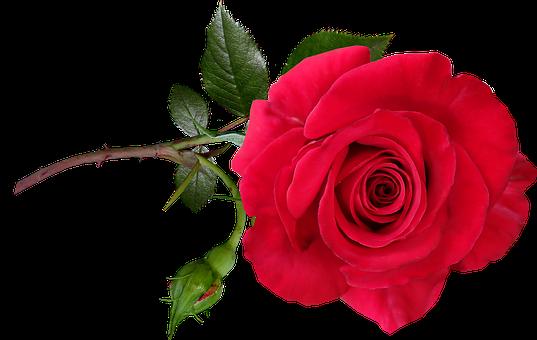 Rose, Red, Flower, Stem, Perfume, Garden