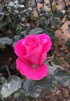 Rose, Roses, Red Rose, Flower