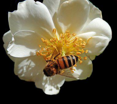 Flower, Rose, Insect, Bee, Pollen