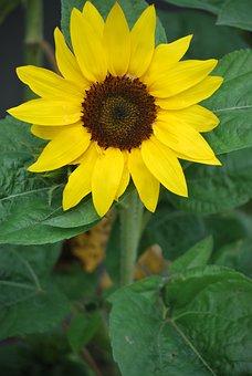 Sunflower, Sunny, Nature, Flower, Bloom