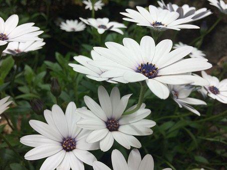 Daisy, Daisies, Flowers, Spring, Garden, Nature, Bloom