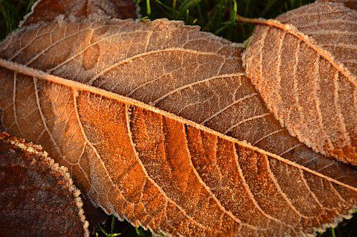 Leaves, Frost, Hoarfrost, Cold, Fall Leaves, Nature