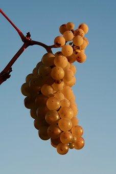 Wine, Grapes, Vine, Winegrowing, Fruit, Grapevine