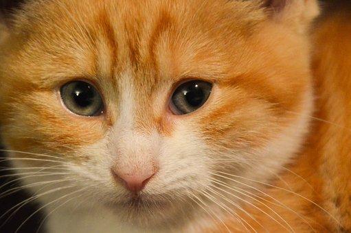 Animal, Cat, Feline, Portrait, Head, Kitten, Eyes, Cute