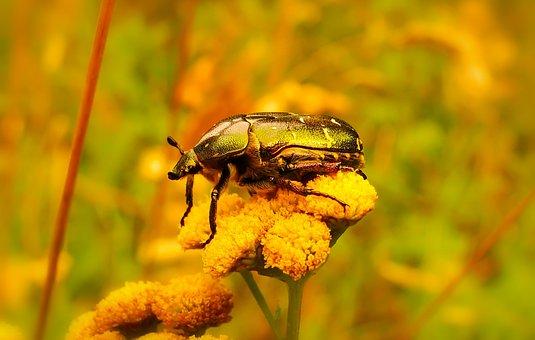 Kruszczyca Złotawka, The Beetle, Flower, Animals