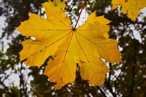 Maple Leaf, Leaf, Leaves, Autumn, Autumn Leaf, Dry