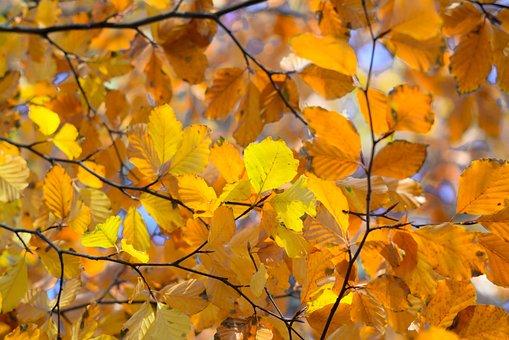 Orange, Leafs, Autumn, Beech, Nature, Leaves, Leaf