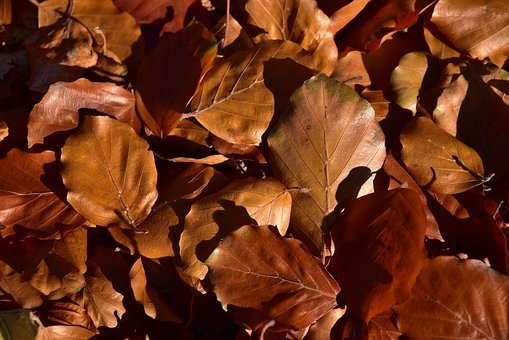 Leaves, Beech Leaves, Nature, Autumn, Fall Foliage