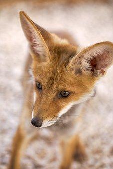 Fox, Animals, Wildlife, Nature, Mammal, Outdoors, Wild