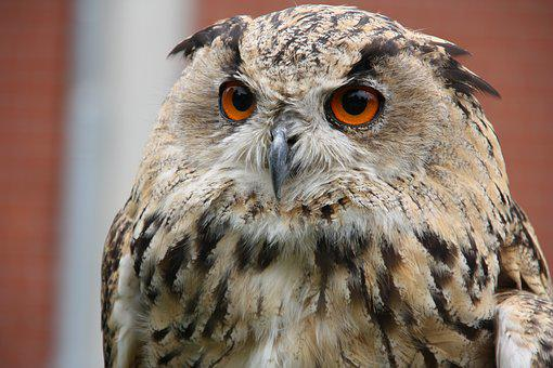 Raptors, Owl, Bird Of Prey, Nature, Wild Bird, Bird