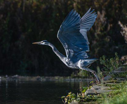 Bird, Heron, Grey, Flight, Wings, Nature, Wildlife