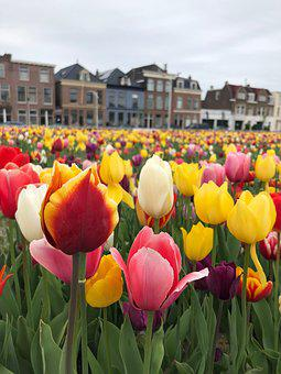 Tulips, Delft, Flowers, Colorful, Holland, Netherlands